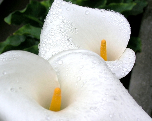 Calla Lilies Show Me Your Faces
